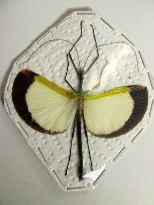 Anchiale buruense A-Stick Insect Taxidermy REAL Spread