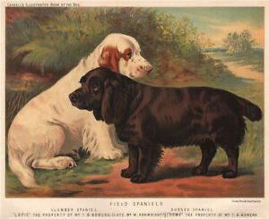 DOGS-Field-Spaniels-Clumber-Spaniel-Sussex-Spaniel-034-Lapis-034-amp-034-Romp-034-1881