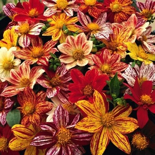 50 EARLY BIRD DAHLIA Mixed Colors Flower Seeds *Comb S/H