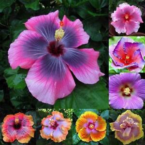 Fiori Hibiscus.Nuovo 100pcs Rara Hibiscus Gigante Color Arcobaleno Semi Pianta In