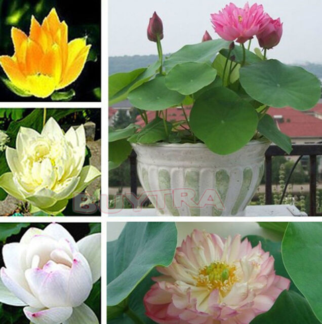 30 Pcs Mix Lotus Seeds Water Flower Viable Plants Fragrance Blooming Trendy EB