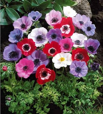 100 Anemone De Caen Mixed Colours Spring Perennial Plant Flower Bulbs