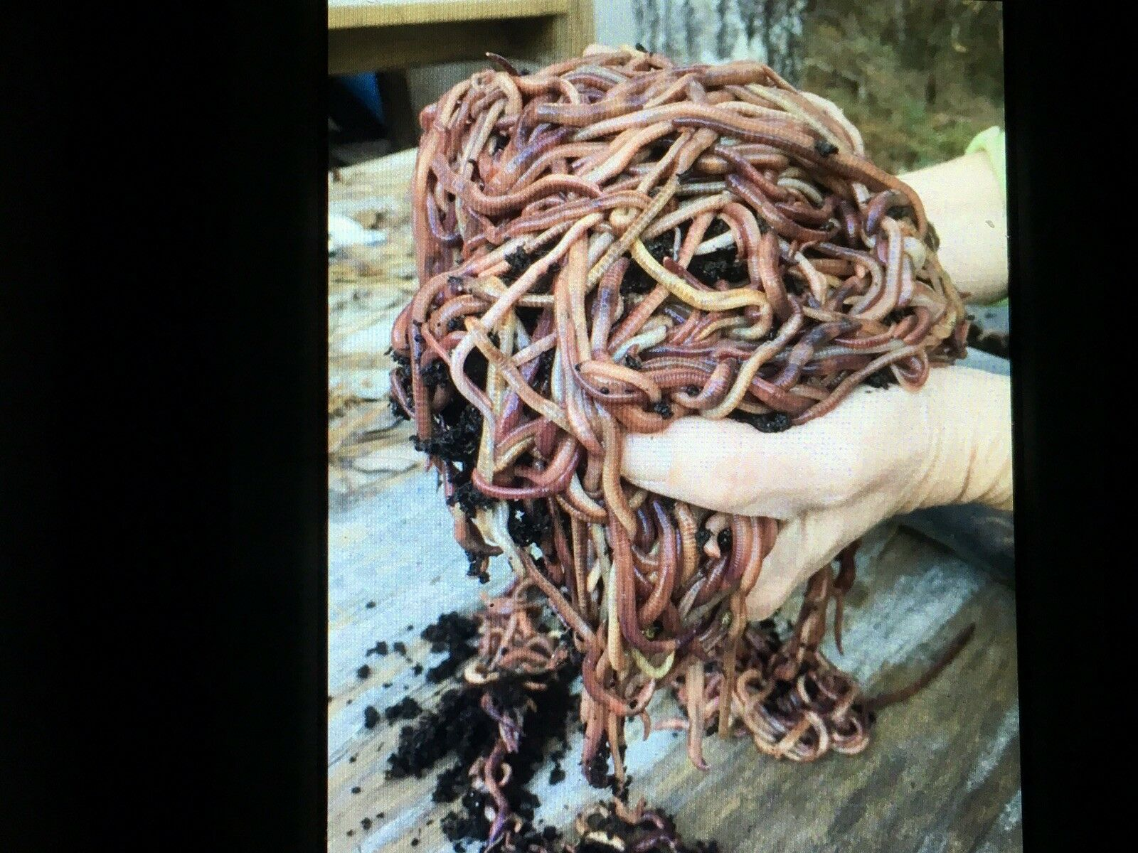 Live Fish Bait; 2 pounds Red Wiggler Worms (approximately 2,000 worms)
