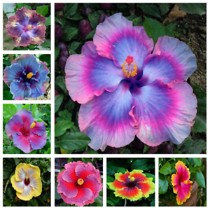 100pcsbag Hibiscus Flower Seeds Garden Home Potted Plants Flower
