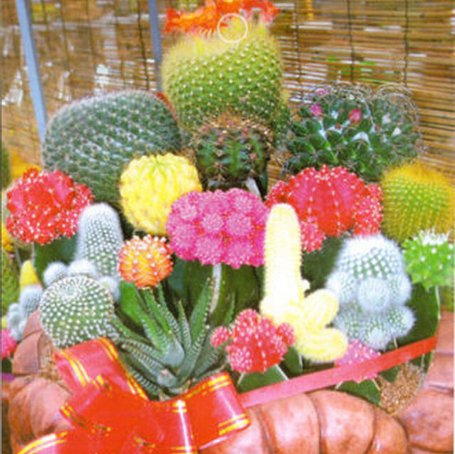 1 Bag 10 Seeds Mixture Of Cactus  Flower Color Plant free shipment TB