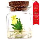 Maintenance free! Miniature Flask Orchid: Psygmorchis pusilla. Live! Gift Plant