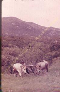 Original Ekta Diapositive transparancy Algérie Labour en Kabylie