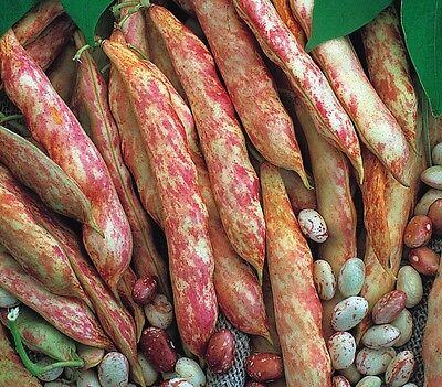 Vegetable - Climbing French Bean - Barlotto Lingua di Fuocco - 10 Seeds- Economy
