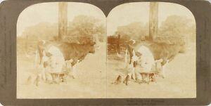 Stereo-Scena-Vita-Rurale-Mucca-Lait-Foto-Vintage-Analogica-PL62L9