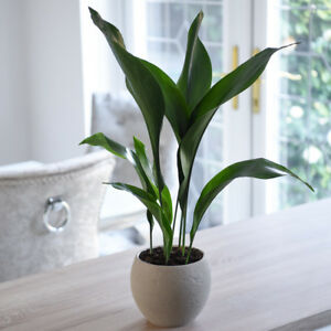 eBay & Details about Aspidistra Elatior House Plant Indoor Potted 12cm Pot Cast Iron Plant T\u0026M