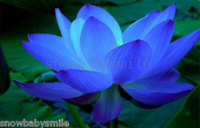 10 Blue Lotus Seeds Water Lily Pad Nymphaea Nelumbo Nucifera Pond Plants Flower