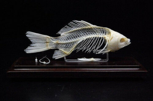 Real Fish skeletons taxidermy specimen good quality Special home deco Xmas gift