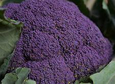 25 Graines de Brocolis Violet Non Traité seeds plantes rare légumes ancien