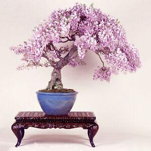 10PCS Rare Wisteria Bonsai Seeds Mini Bonsai Tree Indoor Ornamental ...