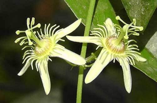 Passiflora suberosaCork Bark Passionflower10/_Seeds FREE SHIPPING