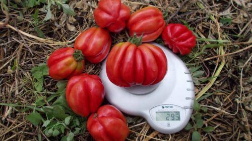 Tomato Seeds Etoile 20 seeds organic non gmo pink tomatoes Ukraine D Farmer idea