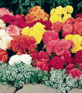 Tuberous-Begonia-Seed-Go-Go-Mix-8-Colours-Double-Summer-Flowers-NEW-RELEASE