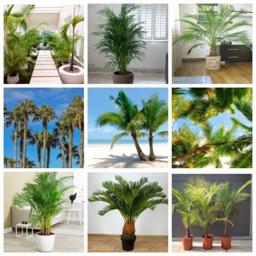10Pc Palm Seeds Plants Arecaceae Fresh Nature Home Trees Garden Beauty Fresh Big