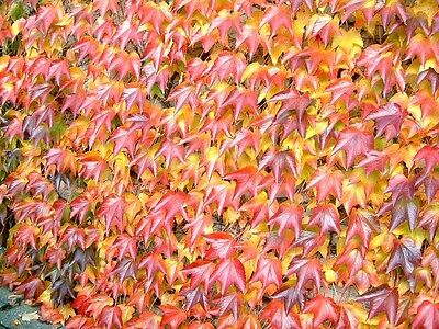 Parthenocissus tricuspidata- Japanese Creeper. IVY. red in Autumn 25 seeds