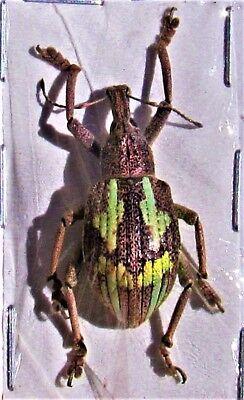 Lot of 10 Metallic Jewel Beetle Megaloxantha purpurascens peninsulae Fast from USA