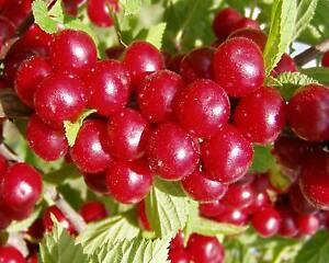 Nanking-Bush-Cherry-Prunus-tomentosa-Shrub-Seeds-Fast-Hardy-Edible