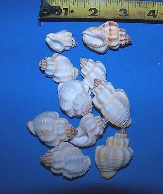 50 - white Nassarius Arcularis cancellaria seashell craft wedding ITEM # WCSS-50