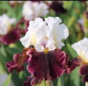 ready for planting Two Tall bearded iris large rhizomes Freshly dug