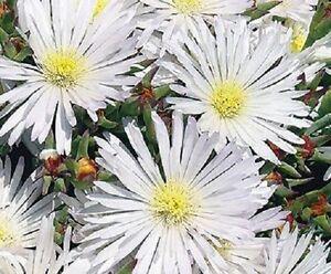 50-DELOSPERMA-WHITE-ICE-PLANT-FLOWER-SEEDS-PERENNIAL