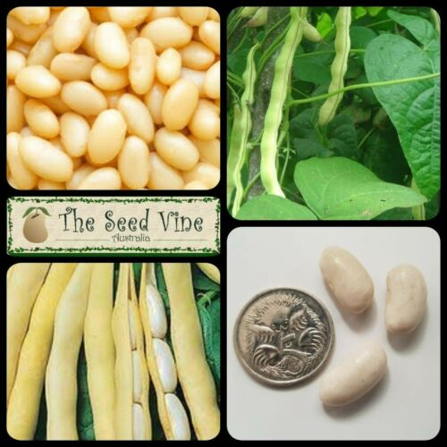 Phaseolus vulgaris 10 ORGANIC CANNELLINI WHITE BEAN SEEDS 90 Day Harvest