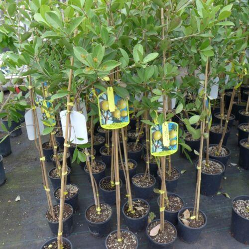 Guavenbaum gelbe Guave gialla selbstbefruchtend Psidium guajava ca 160-180 cm