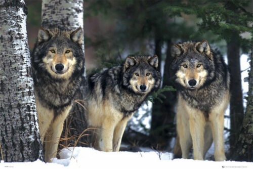 NATURE WILDLIFE THREE 33936 ART POSTER 24x36 WOLVES IN SNOW