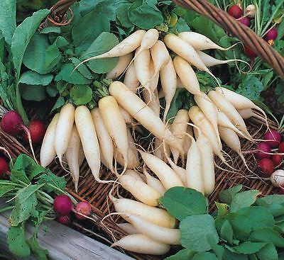 Suffolk Herbs - Oriental Vegetables - Radish White Icicle - 1000 Seed Een Effect Produceren Voor Een Heldere Visie