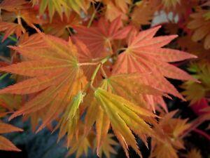 Acer-shirasawanum-Moonrise-japanischer-Faecherahorn-60cm