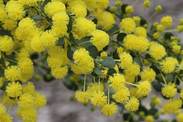 Gold Dust Wattle Seed Hardy Medium Shrub Ball Flowers Frost & Drought Tolerant