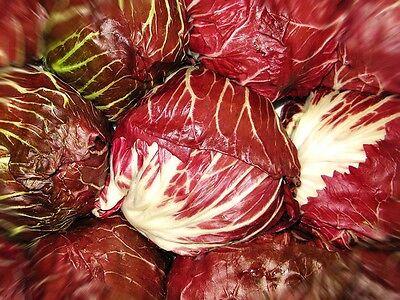 RADICCHIO - PALLA ROSSA - RED BALL CHICORY (Cichorium intybus) Seeds