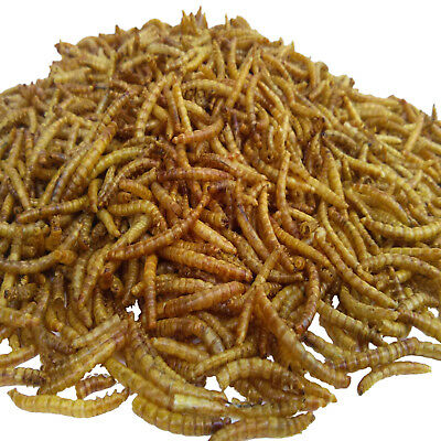 Mealworms freeze dried koi pond fish large fish for Koi pond freezing