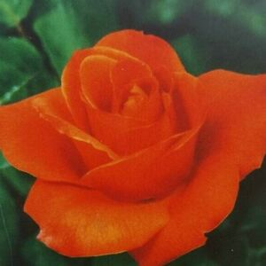 New Year Grandiflora 1 Gal Orange Rose Live Bush Plants