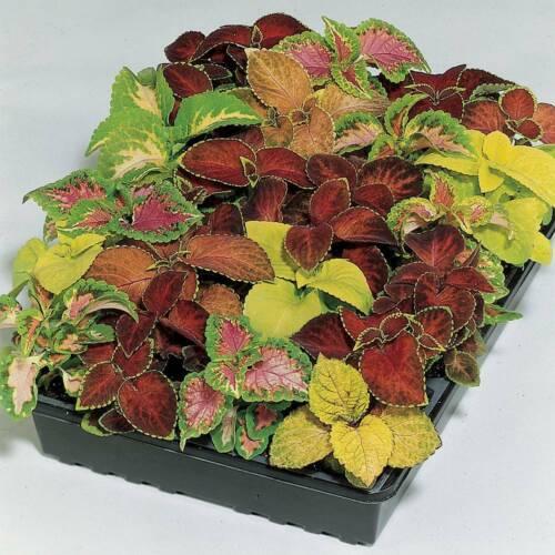 50 SEEDS Rainbow Flower Coleus Wizard Mixed Colours Foliage Plant Bedding Garden