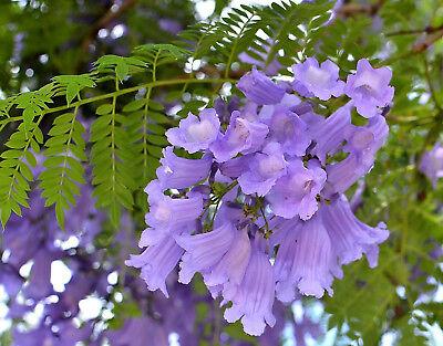 Jacaranda Mimosifolia Samen, Palisanderholzbaum, -7°c., Ideal Auch Als Bonsai