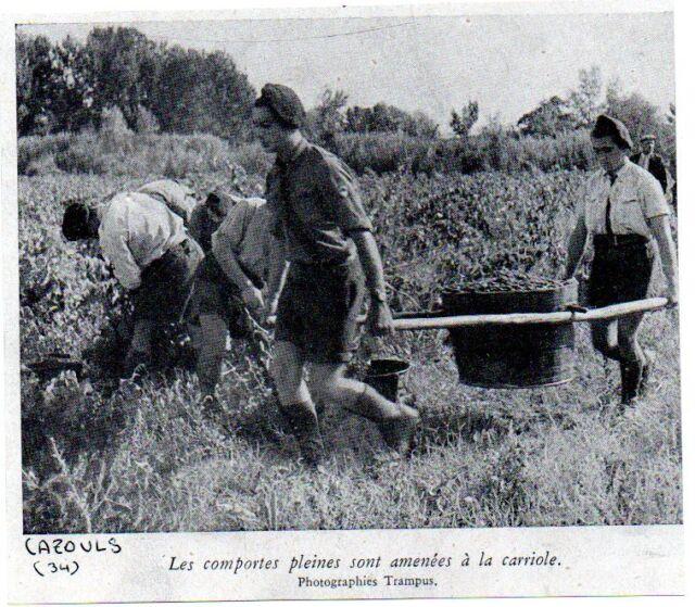 1943  --  CAZOULS JEUNES ENROLES RECOLTE A LA CAMPAGNE  C435