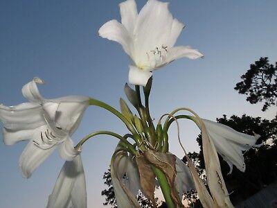 medium-size bulb NEW White Emperor Crinum Lily