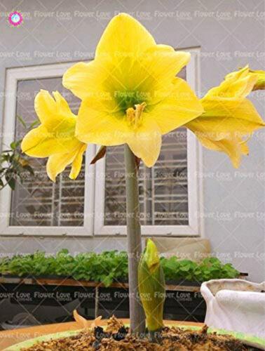 Amaryllis Bonsai Flower Hippeastrum Bulbs Perennial Beautifying Fragrant Plants