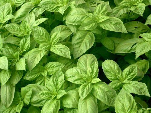Nufar Hybrid Herb 250 Seeds Basil