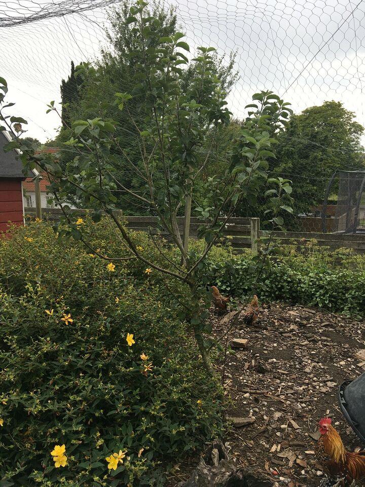Æbletræ, Fransk Grå Reinet Madæble