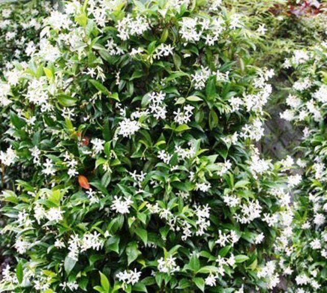 Trachelospermum jasminoides Intensiver Jasmin Blütenduft winterhart TJ1-9)