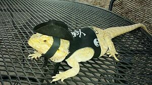 Lil-039-Bestie-Bearded-Dragon-reptile-Harness-and-Leash-PIRATE