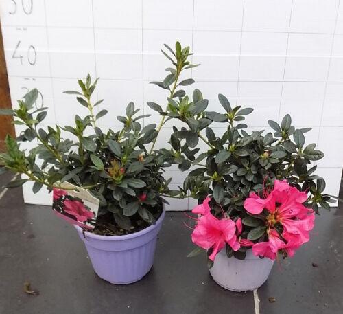 Carnival vaso17 azalea rifiorente pot.17 r Azalea Encore