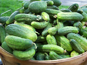 cucumber-PICKLING-canning-pickle-25-seeds-GroCo-buy-US-USA