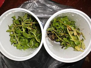 Details about Rice paddy/ngo ohm herb plants 44 OZ cups bare roots, Buy one  get one for good