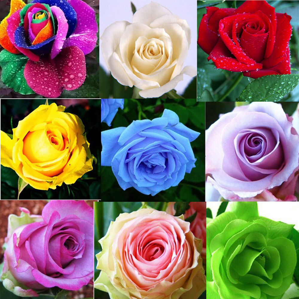 50 rare rainbow rose flower seeds your lover multi color for Rainbow flower seeds